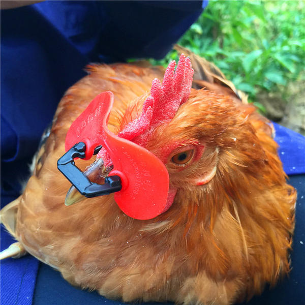 free-shipping-2015-new-no-bolt-chicken-glasses-red-soft-glasses-anti-pecking-goggles-farm-equipmentjpg640x640.jpg