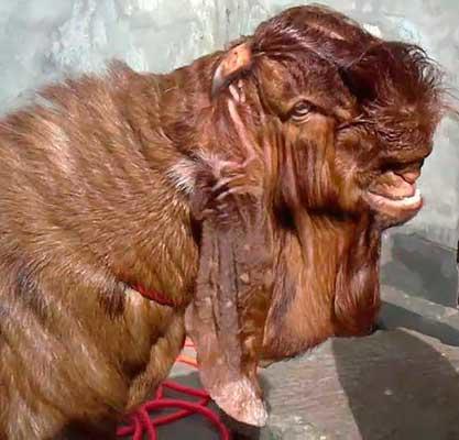 shami-goats-13.jpg
