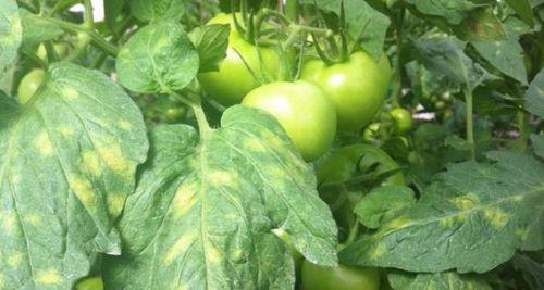 buraya-pyatnistost-tomatov.jpg