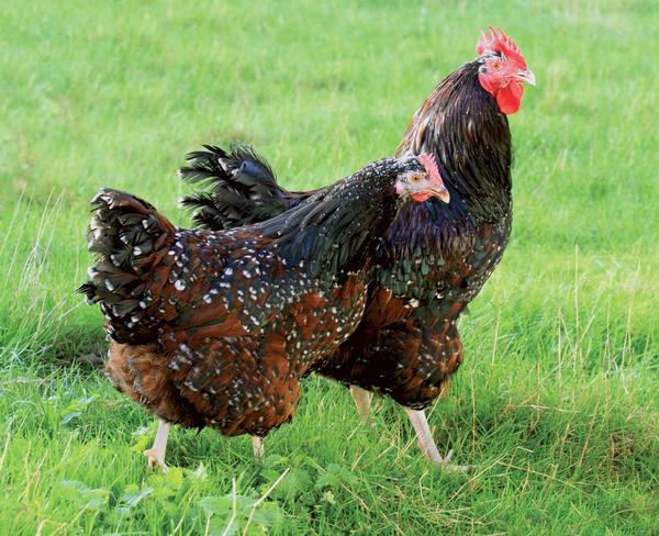 sussex-tricolore-coq-reproducteur-poule-pondeuse-race-xxl.jpg