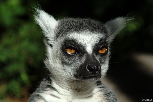 lemur004.jpg