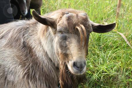 cutcaster-photo-100451386-hornless-brown-goat.jpg