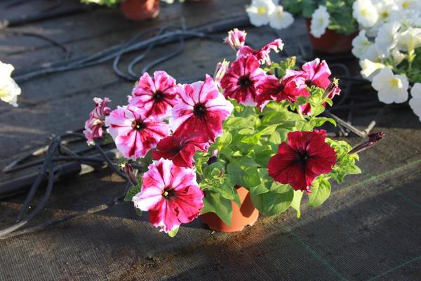 potgrandiflora28.jpg