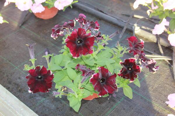 potgrandiflora36.jpg