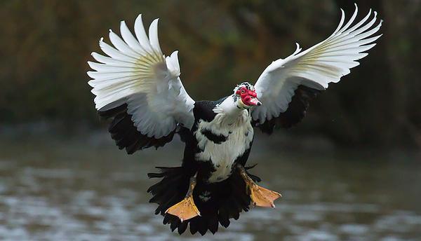 muscovy-duck-23.jpg