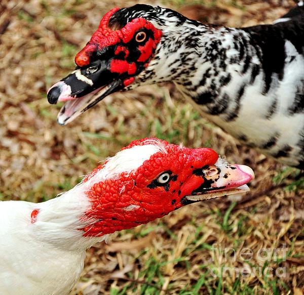 muscovy-ducks-kaye-menner.jpg