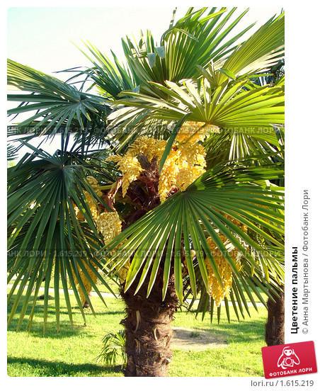 tsvetenie-palmy-0001615219-preview.jpg
