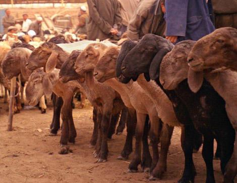 16-million-euros-dolan-sheep-1.jpg
