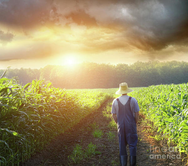 farmer-walking-corn-fields-sunset-sandra-cunningham.jpg