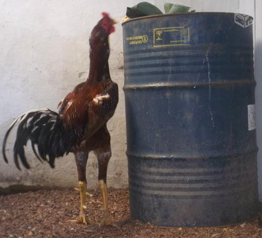 ndio-gigante-galos-e-galinhas-adultos-20140403232955.jpg