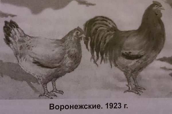 voronezhskiekury1923.jpg