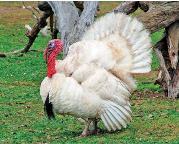 white-turkey-414.jpg