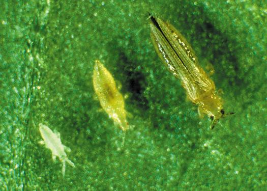 12lichinochnyyvozrasttripsaivzrosloeosob.jpg
