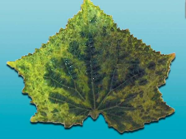 cucumber-mosaic-cucumovirus1.jpg