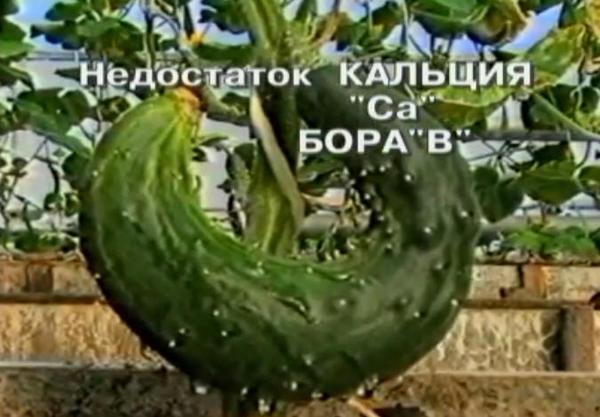 nedostatok-bora-u-ogurcov-2.jpg