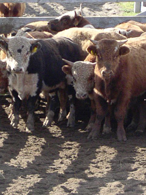 cattle0014.jpg