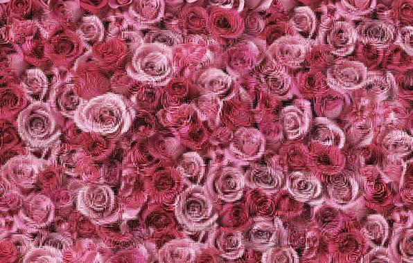 rozy-rossyp-rozovye.jpg