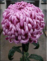 103639858w640h640chrysanthemumrifolium1.jpg