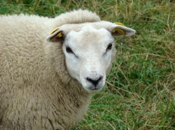 texel-sheep2856230.jpg