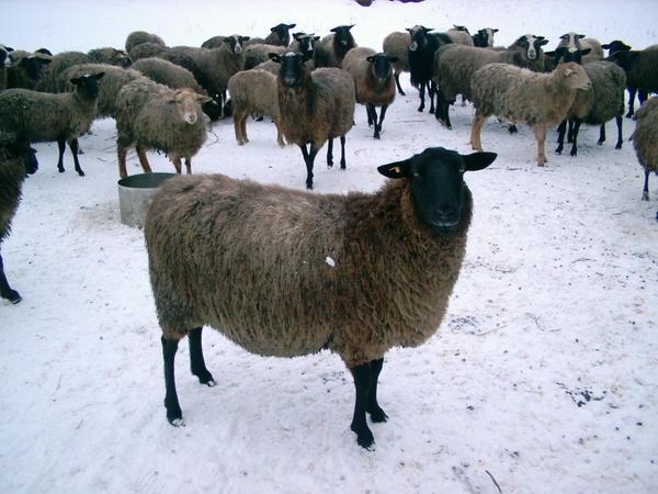 ovcy010.jpg