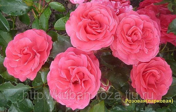 27902640w1081h473yarozovayakrupnotsvetnaya3.jpg