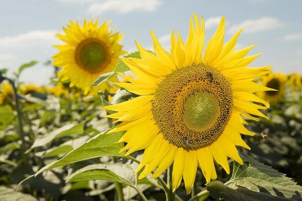 sonflower1.jpg
