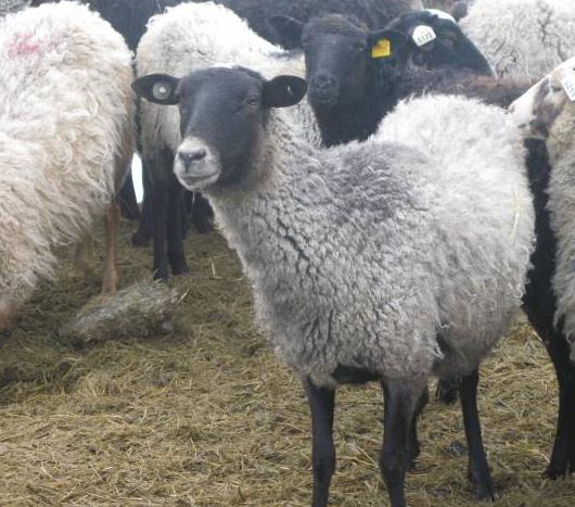 ovcevodstvo.png