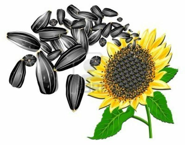 sunflower-seed-clipart-sunflower-seeds-and-beautiful-flower-white-background-vector-illustration.jpg