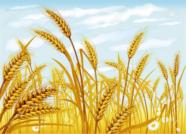9716634-wheat-field-stock-vector-grain.jpg