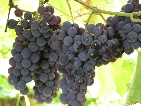 vinograd_odin.jpg