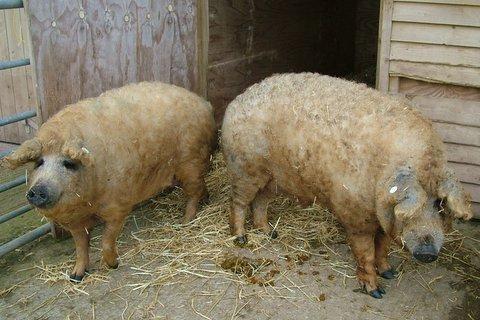 Помесь свиней и овец (11 фото)