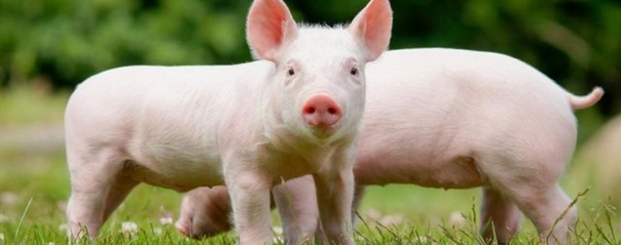 Современные системы кормления свиней