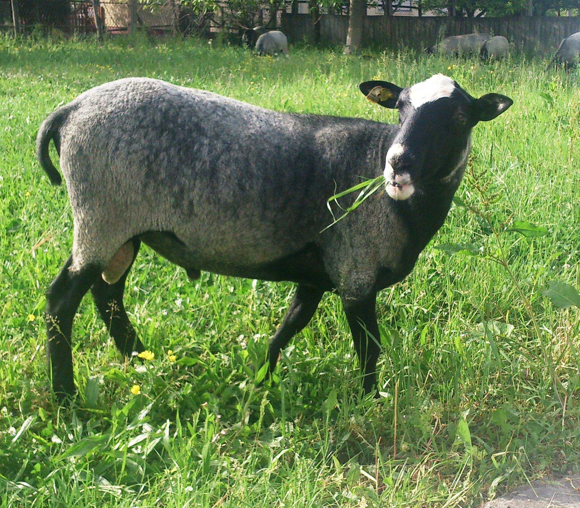 Романовская овца в россии, цена оптом и в розницу, где купить романовская овца по регионам - предложения продам куплю от компаний портала flagma россия.
