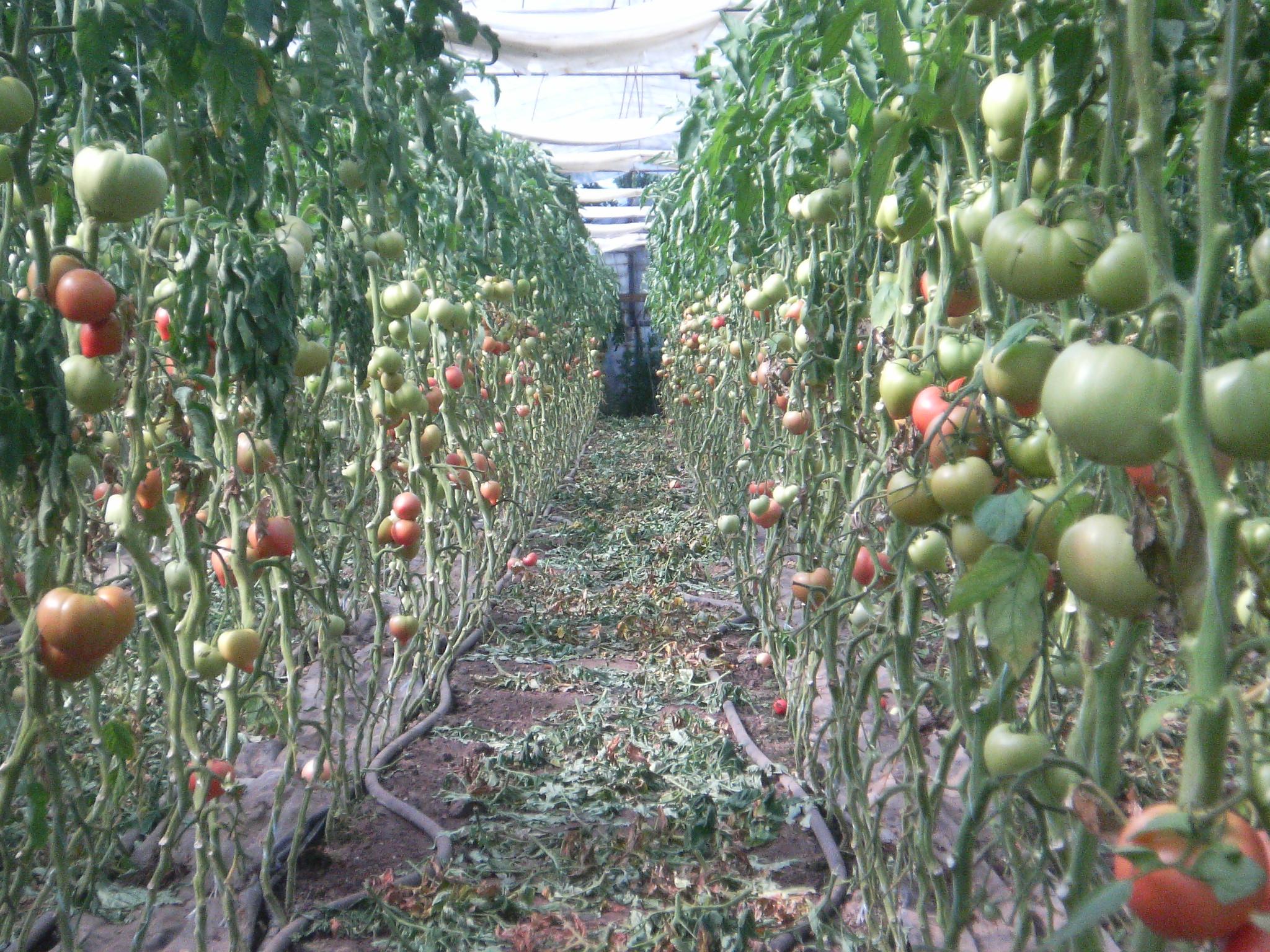 Выращивание томатов в теплице зимой 22