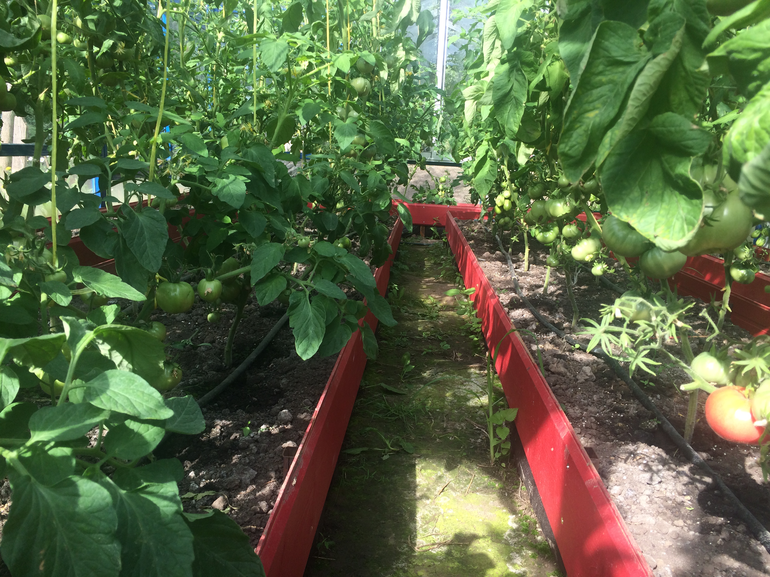 Что можно сажать и выращивать в теплице вместе с помидорами? 40