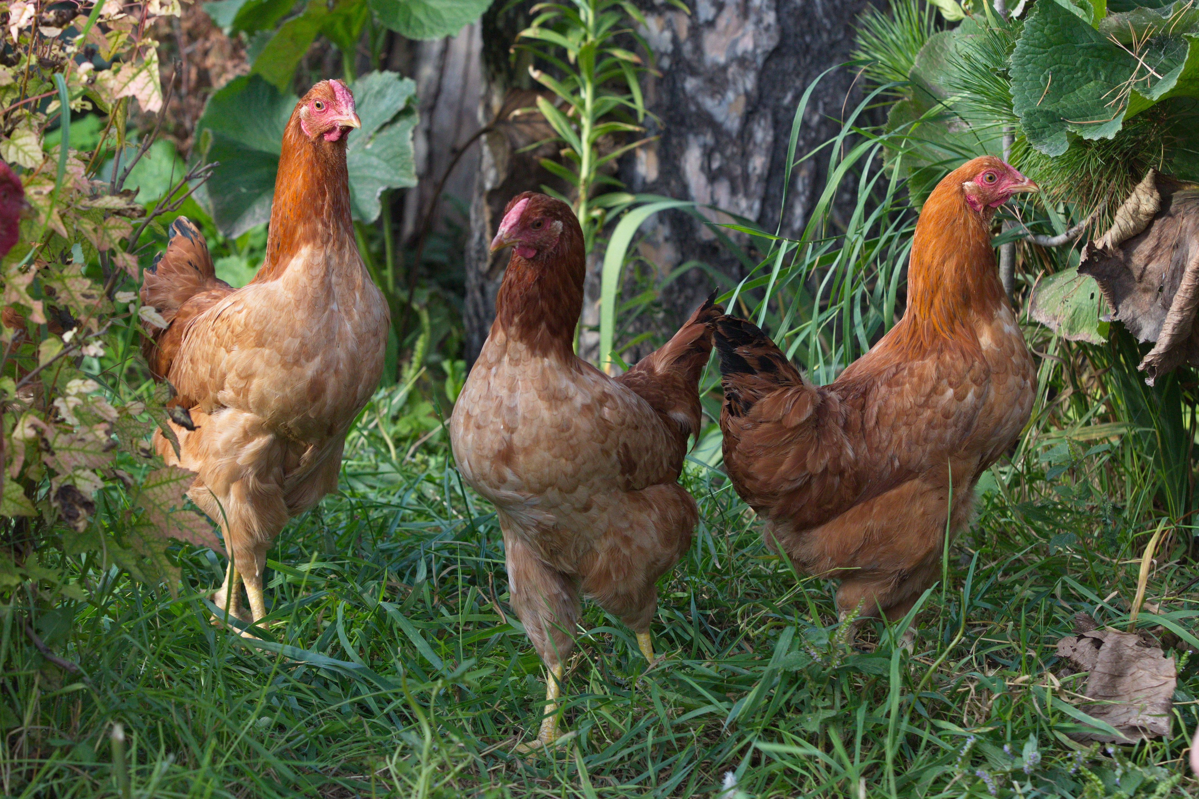 Котлеты рубленые из куриного филе фото настоящее