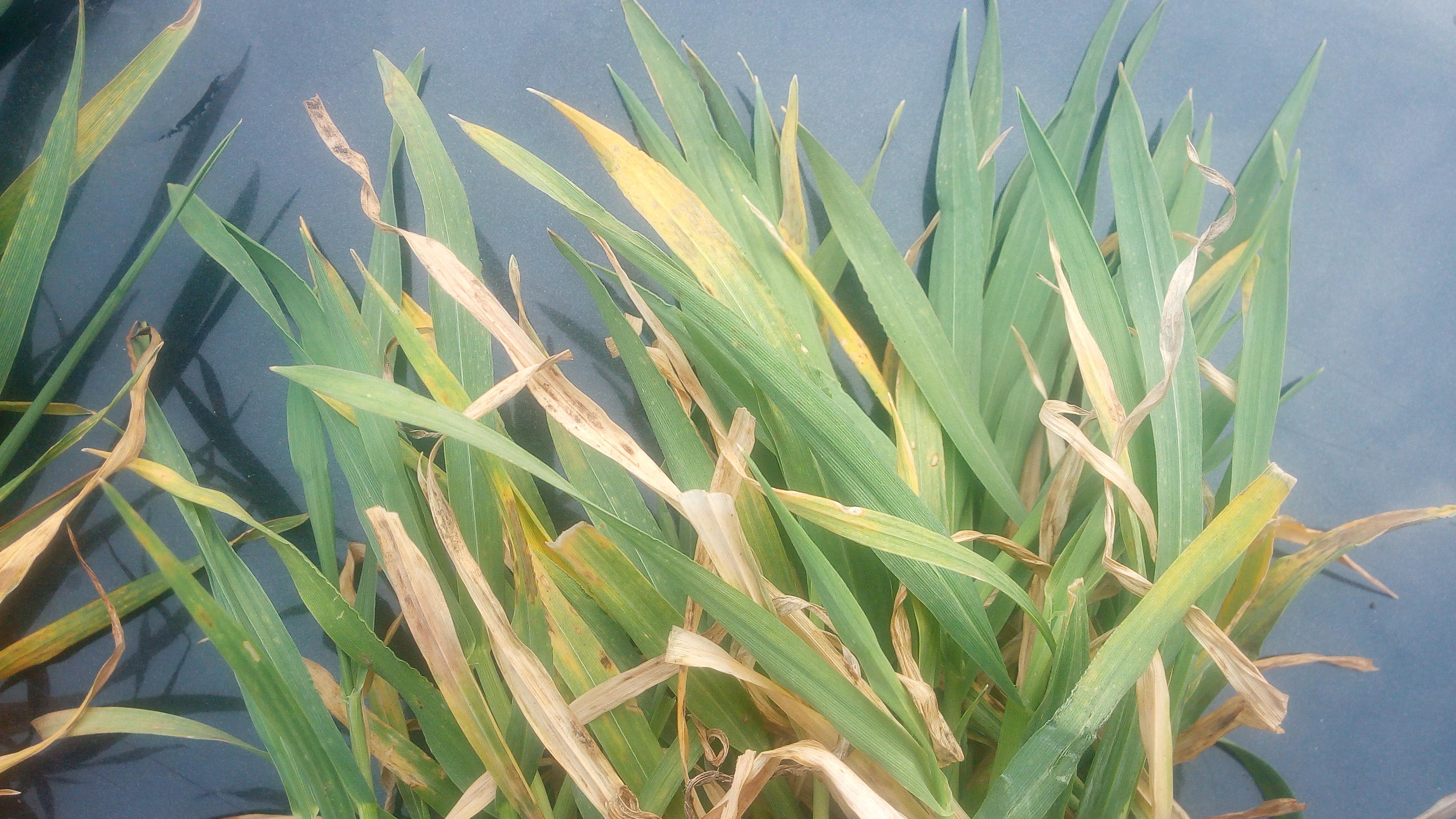 растительные пигменты фото междоузлие пшеницы результаты внеурочной деятельности