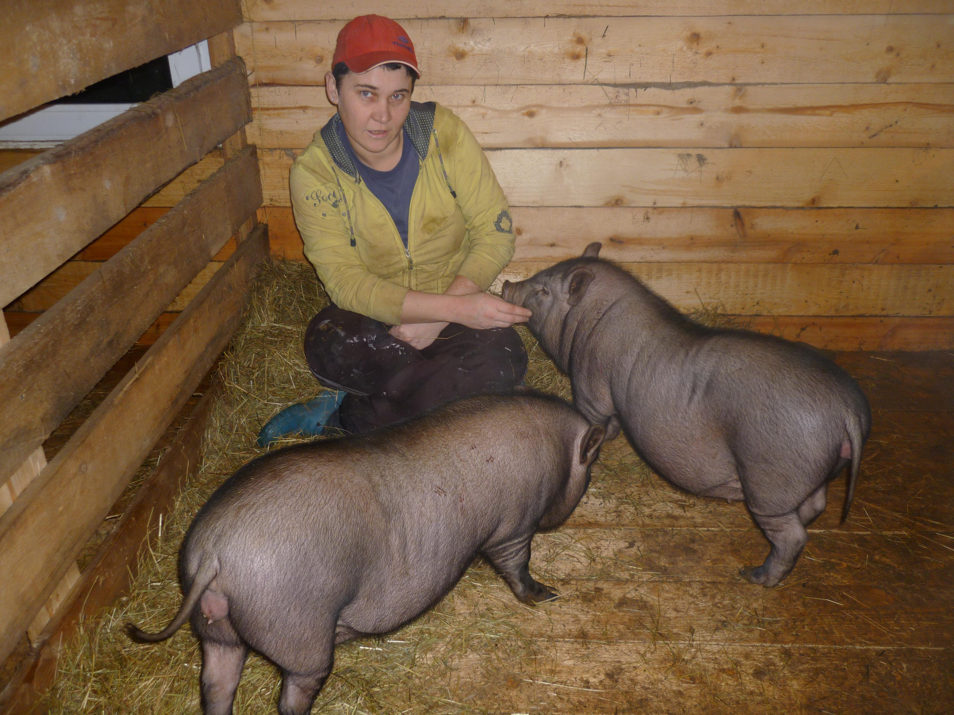 Разведение свиней 60