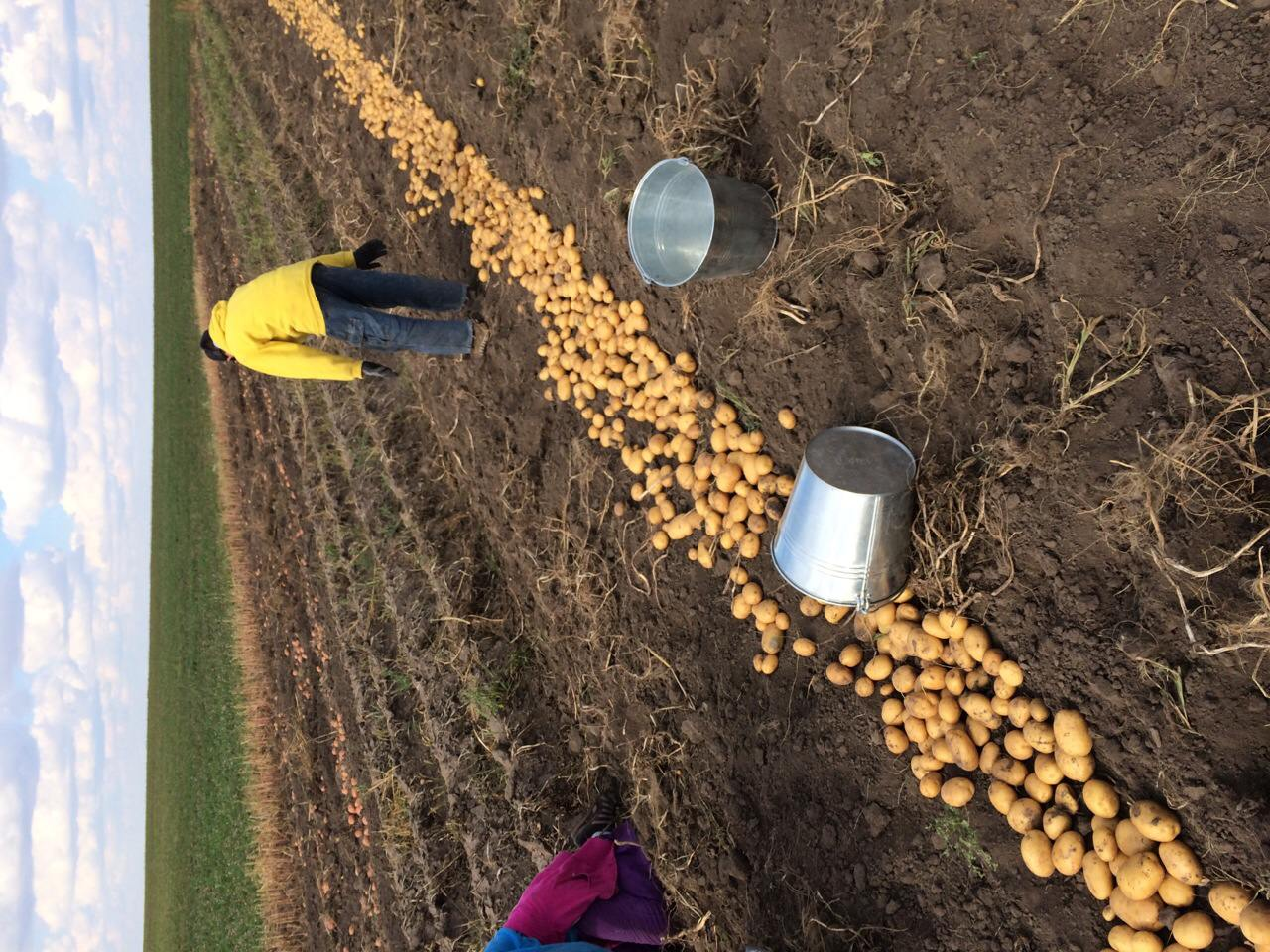 Картошка технология выращивания 85