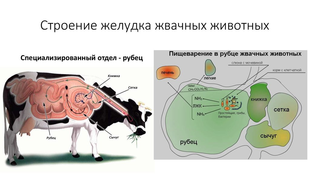 korova-pishevod.jpg