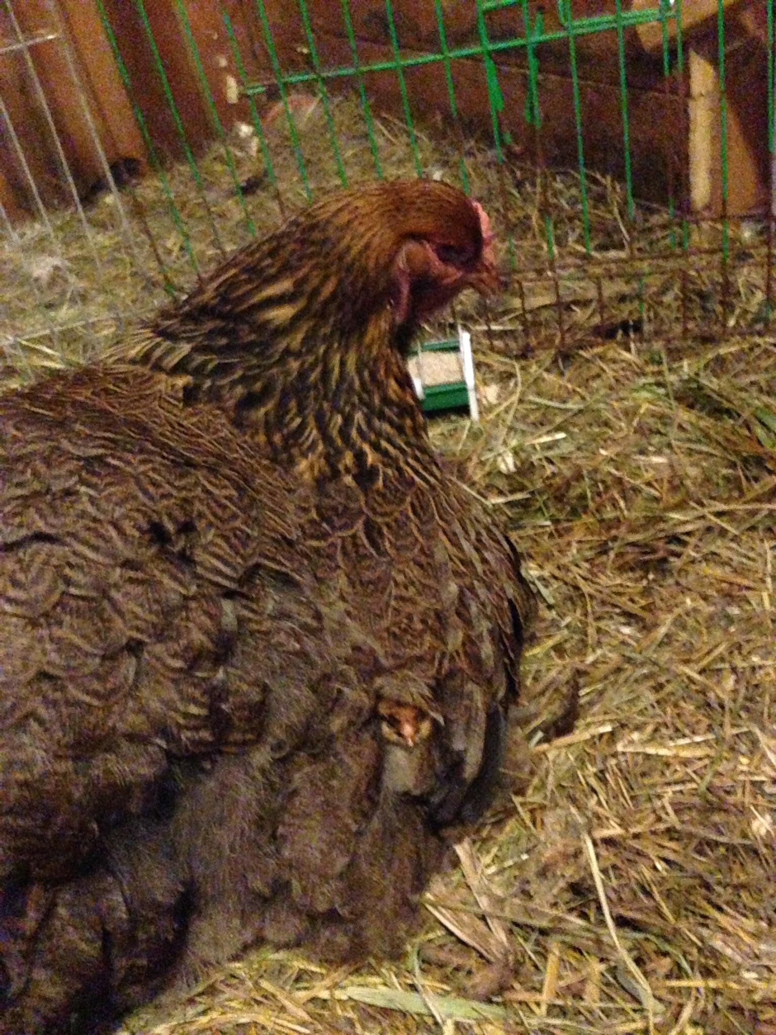 Гнезда для кур несушек своими руками: 3 лучших варианта 56