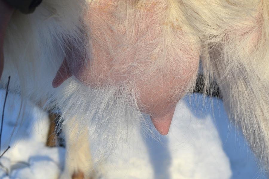 У козы первокотки на 3,5 месяце беременности сильно налилась правая доля вымени Fermer.Ru - Фермер.Ру - Главный фермерский порта