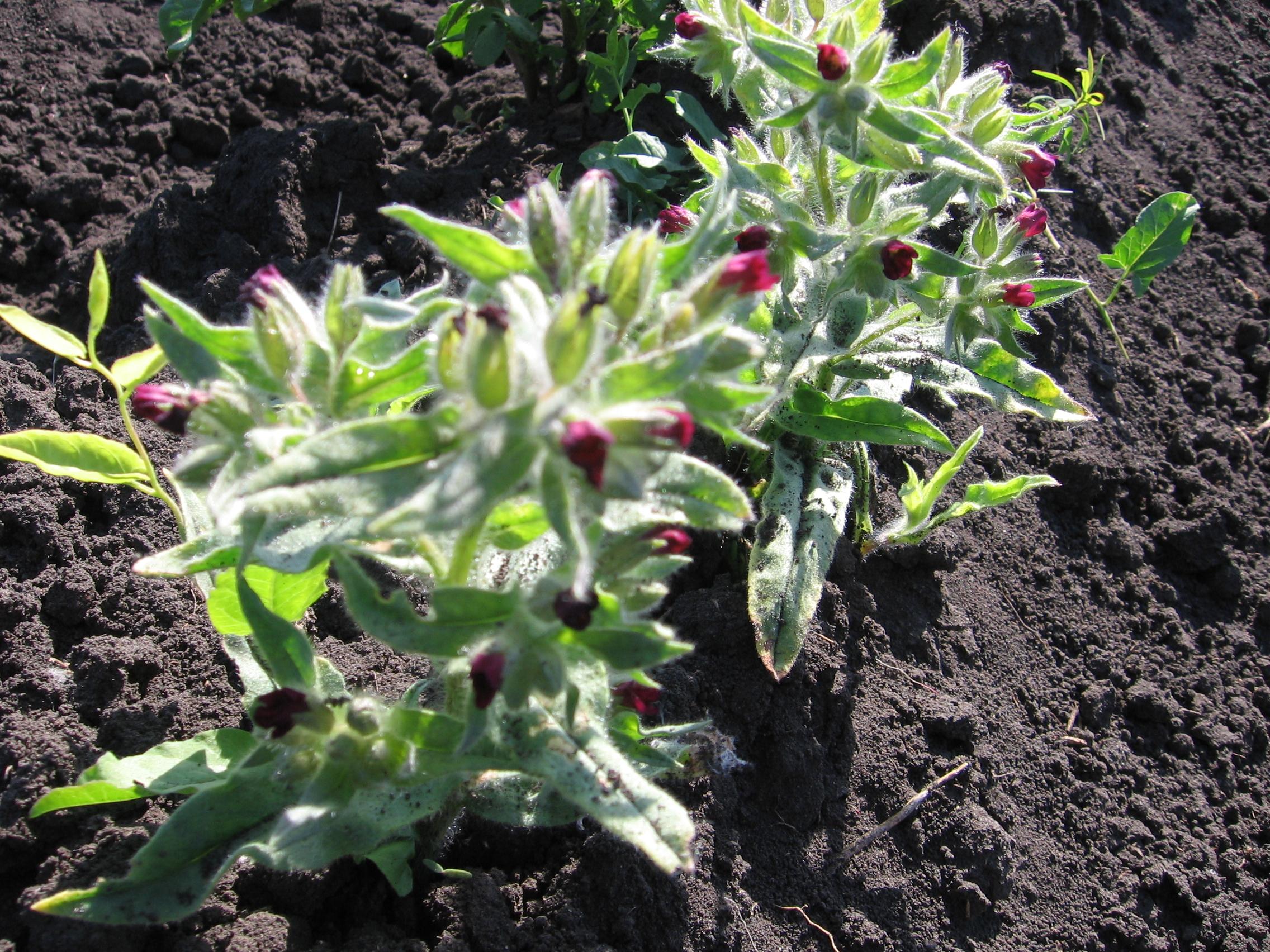 Как вывести осот с огорода