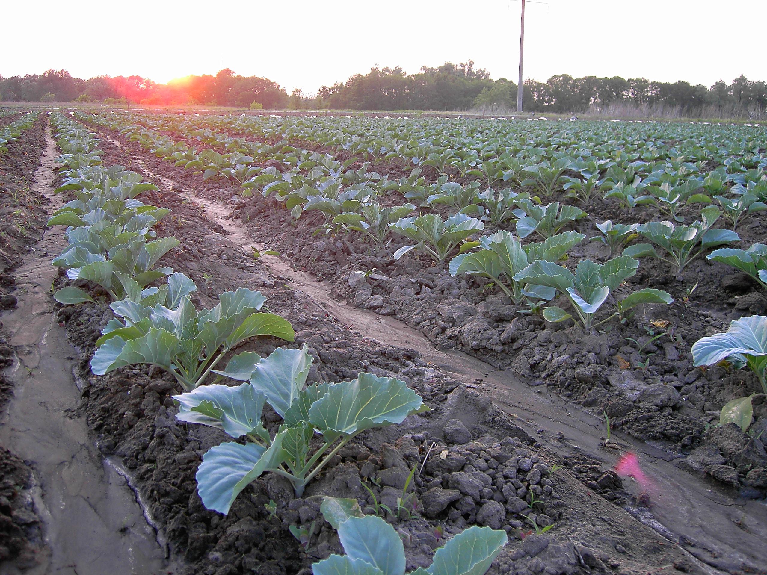 Фото выращивание капусты 60
