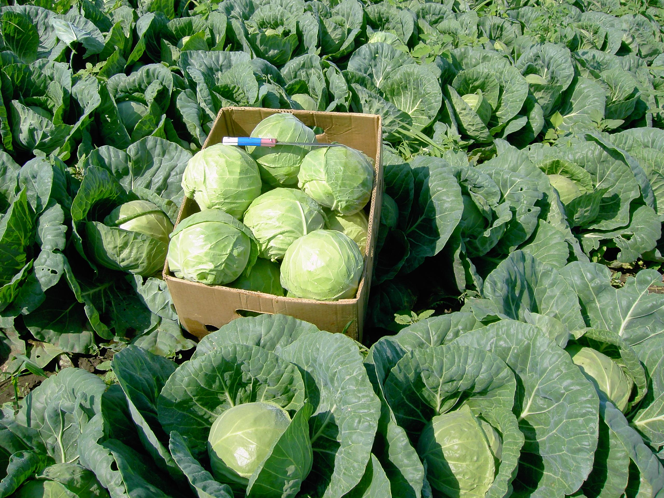 Фото выращивание капусты 82