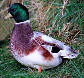 pet-duck-breeds-i5.jpg