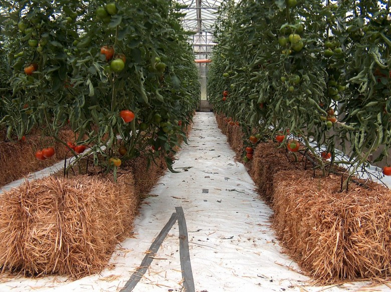 Гидропоника рассады томатов 11