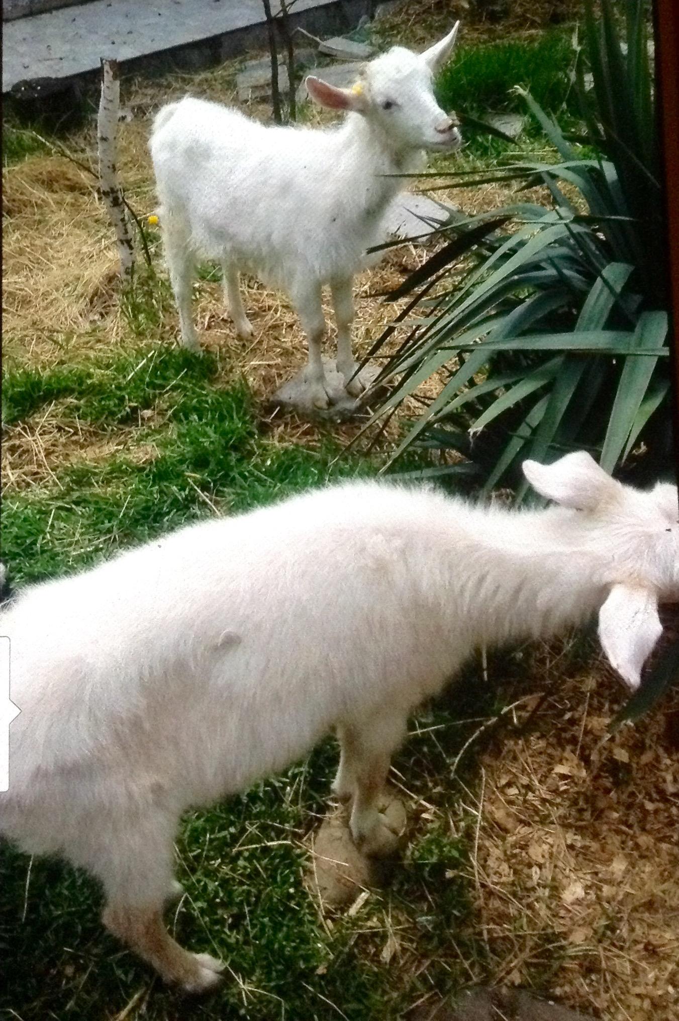 договор купли продажи коз