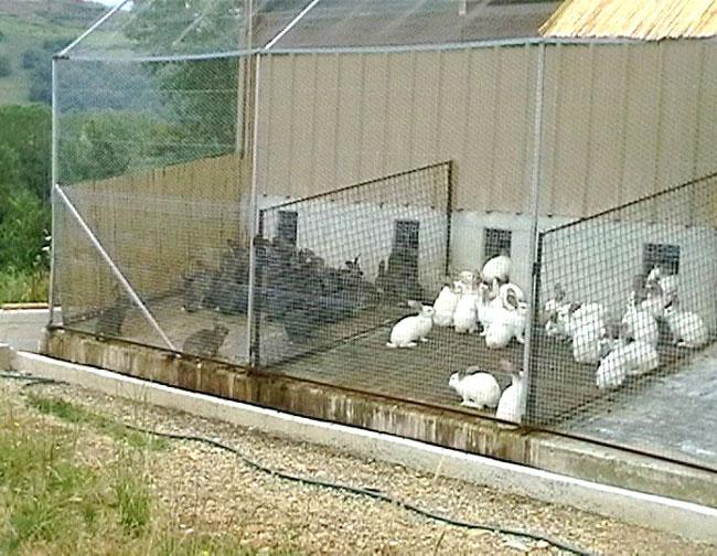 Кролики бараны разведение и содержание в домашних условиях клетки