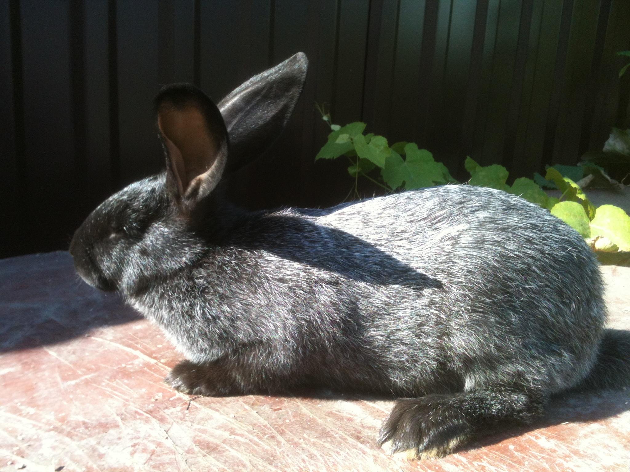 кто-то фото пепельная шиншилла кролик это получается
